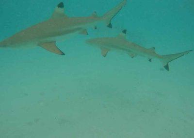 GOPR1414 amour avec requin et raie +1+